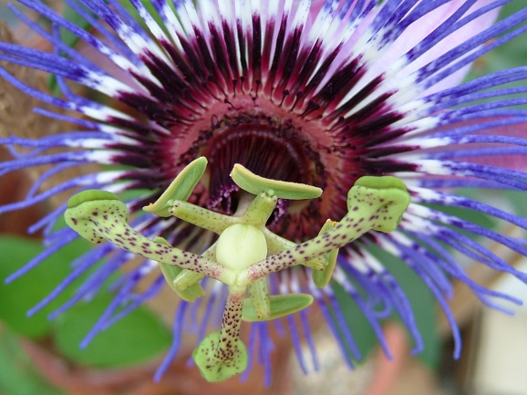 theinfill - passion flower