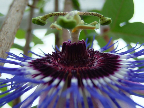 theinfill - passion flower 2