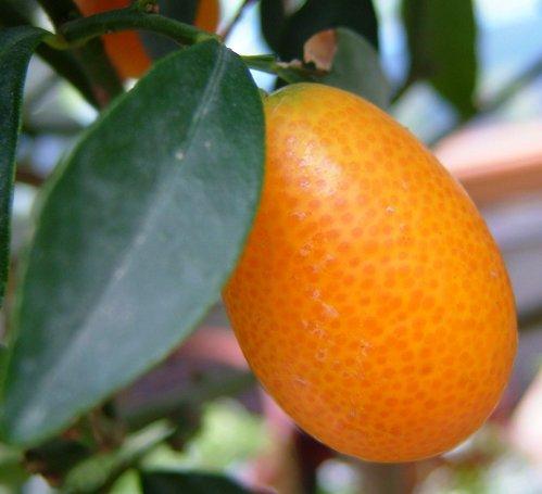 theinfill - Qumquat