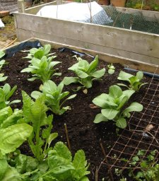 Beds of veg